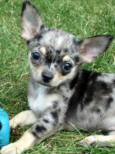 Effective Potty Training Chihuahua Consistency Is Key Ideas. Brilliant Potty Training Chihuahua Consistency Is Key Ideas. Merle Chihuahua, Cute Chihuahua, Cute Puppies, Dogs And Puppies, Doggies, Teacup Chihuahua Puppies, Chihuahua Tattoo, Beautiful Dogs, Animals Beautiful