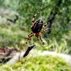 Spider having lunch in its web