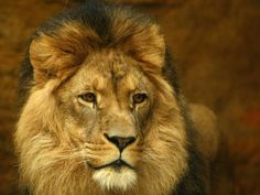 Cecil the lion: Death of 'iconic' big cat prompts calls to end legal EU importing of lion trophies - Africa - World - The Independent