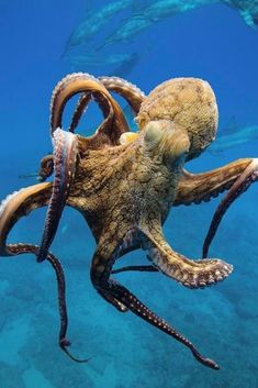 Octopus - - My list of the most beautiful animals Octopus Photography, Animal Photography, Underwater Creatures, Ocean Creatures, Underwater Animals, Underwater Swimming, Giant Pacific Octopus, Especie Animal, Beautiful Sea Creatures