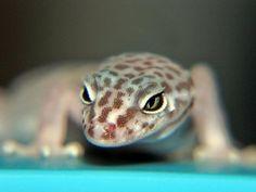 Female Banded Gecko