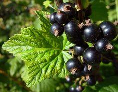 Fekete ribizli, a gyógygyümölcs - Egészségtér - Természetes egészség
