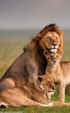 """Lion Family……..MOMMA LIONS THOUGHTS: """"I HOPE LITTLE """"LEO"""" SITS STILL LONG ENOUGH FOR THIS FAMILY PORTRAIT………..GUESS WHAT (??) HE ACTED SO WELL BEHAVED…..THIS IS THE 2016 RESULT…….WHO KNOWS ABOUT NEXT YEAR(??)………….ccp"""