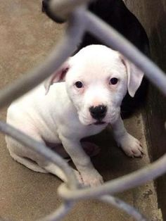 URGENT!!!!****Boxer female less than 4 months  Kennel A34 Available 4-8-2014  Located at Odessa, Texas Animal Control.