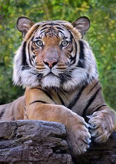 "'Stripe Club' - photo by Ion Moe (Stinkersmell), via Flickr;  ""Connor"" the Malaysian Tiger at the San Diego Zoo"