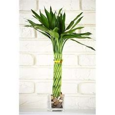 Lucky Bamboo - Elegant Twist with Glass Vase and Pebbles $24.99