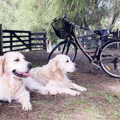 #gracehillfarm #farmdogs #retrieveroftheday