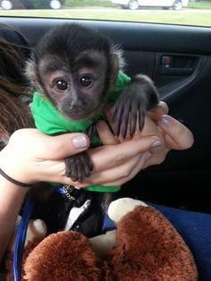 Wonderful Lovely Capuchin monkey for adoption – Coco Hals - Baby Animals Baby Monkey For Sale, Monkeys For Sale, Baby Monkey Pet, Cute Monkey, Capuchin Monkey Pet, Capuchin Monkeys, Cute Funny Animals, Cute Baby Animals, Newborn Animals