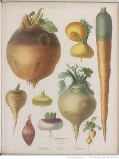 Album Vilmorin. Fleurs rustiques, annuelles et vivaces, légumes et plantes fourragères, peintes d'après nature par Mme Champin et Mlle Coutance | Gallica