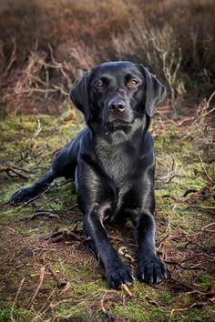 Beautiful Black Labrador photo