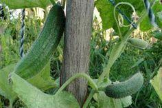 Egy hatékony keverék, ami megvédi az uborkád a betegségektől Homesteading, Cucumber, Vegetables, Gardening, Lawn And Garden, Vegetable Recipes, Zucchini, Veggies, Horticulture