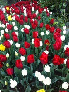 Emirgan Lale 2014-2  -Tulips in Emirgan 2014