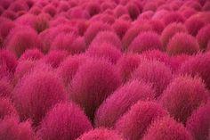 RARE-Summer-Cypress-Burning-Grass-Kochia-Scoparia-20-35-50-Seeds-Hardy-Plant