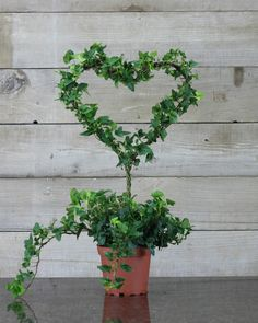 Fresh English Ivy Heart on Stem Topiary Antique Rustic Frame Tuscany French Cottage Home and Garden Design Topiary Garden, Topiary Trees, Garden Pots, English Ivy Indoor, Ivy Plant Indoor, Espalier, Ivy Plants, Rustic Frames, Pretty Flowers