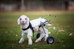"""El cabrito """"Frostie"""" ya puede andar gracias a un arnés con ruedas ¡Maravilloso!"""