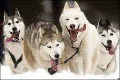 BBC News - In pictures: Highlands sled dog race