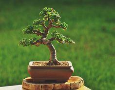 Árbol de bonsai de Portulacaria afra (enano Jade) de Gilbert Cantu con Bonsai de Jade.