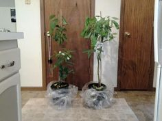 "growngive ""avocado"" trees... Wow do they look good"