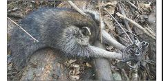 Ban Steel-Jaw Leghold Traps in the U.S. http://www.thepetitionsite.com/tell-a-friend/21155798#bbtw=631059606