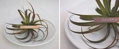 air plants as wedding favors / centerpieces