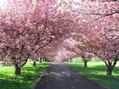 maples tree lined driveway - Google Search