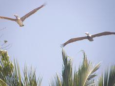 Costa Rica - Pelicans Roderick MacKenzie via Flickr