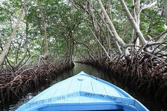 mangroves in roatan, honduras!