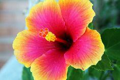 My favorite flower - Hibiscus!!