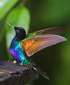Velvet-purple Coronet (native to the humid foothill forest on the West Andean slope in western Colombia and north-western Ecuador)