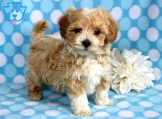 Sonny | Maltipoo Puppy For Sale | Keystone Puppies  #Maltipoo #keystonepuppies