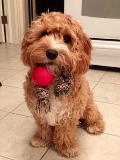 our prancing baby girl. cavapoo puppy For the Home