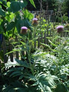 Cardoon, a large artichoke-like plant, but you eat the stems, (as with rhubarb) as a vegetable  The Vegetable Garden: August 2009