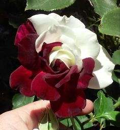 Osiria Rose care can be a real challenge. Not only is this rose hard to find, but is also quite difficult to grow. Many pictures of it are photoshopped