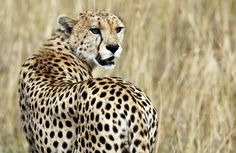 Cheetah headed to extinction with just 7,100 left, wildlife experts warn