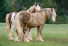 Beautiful Mouse Gray Gypsy Vanners | Go Back > Pix For > Brown Gypsy Vanner
