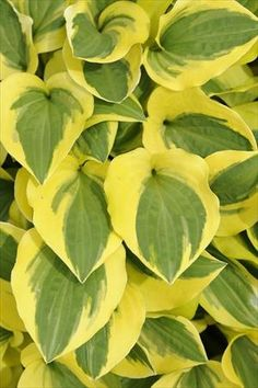 Hosta 'Grand Prize'  sport of Grand Tiara, Lisa Johnson