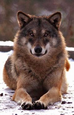 Great color fur and eyes, wish he could be my guard wolf. Wolf Photos, Wolf Pictures, Animal Pictures, Beautiful Creatures, Animals Beautiful, Cute Animals, Wolf Spirit, My Spirit Animal, Tier Wolf