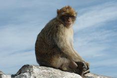 MACACO - Macaco de Gibraltar- Barbary_Macaque