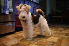 Wire Fox Terrier Lucy