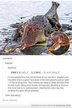 Le crabe peut fermer la gueule d'un alligator.