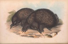 The mammals of Australia.. London,Printed by Taylor and Francis, pub. by the author,1863.. biodiversitylibrary.org/page/49738055