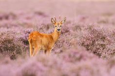 Photograph A roe deer in a field of heather by Pim Leijen on 500px