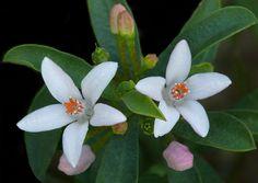 Philotheca myoporoides - Flickr - Photo Sharing!