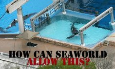 Their fin goes limp & bends side when in captivity too long. A Killer Whale can swim Th Sea world pool looks like In th wild, orcas age but often die 20 in captivity Orcas, Save The Whales, Stop Animal Cruelty, Save Animals, Killer Whales, Sea World, Animal Welfare, Animal Rights, Worlds Of Fun