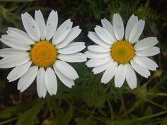 """Daisy o Margarita, energía de inocencia para quien siempre se atrave. """"me quiere, no me quiere"""" www.alifcosmetic.com"""