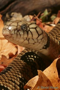 Banded Water Cobra (Naja annulata)