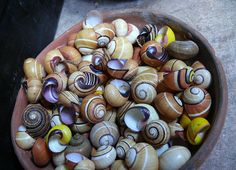 CUBAN POLIMITA SNAILS (POLIMITAS CUBANAS;;limited to Baracoa