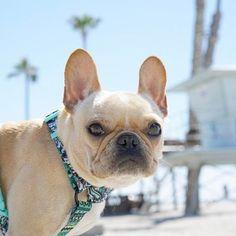 Leo, the Beach Bum, French Bulldog, @frenchieleo on instagram