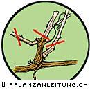 www.pflanzanleitung.ch - Weinreben