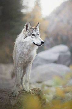 """the-smiling-wolf: """"😊🐺💖 """" Wolf Images, Wolf Photos, Wolf Pictures, Wolf Spirit, Spirit Animal, Beautiful Wolves, Animals Beautiful, Wolf Husky, Wolf Photography"""